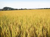 队长与杂交水稻的故事